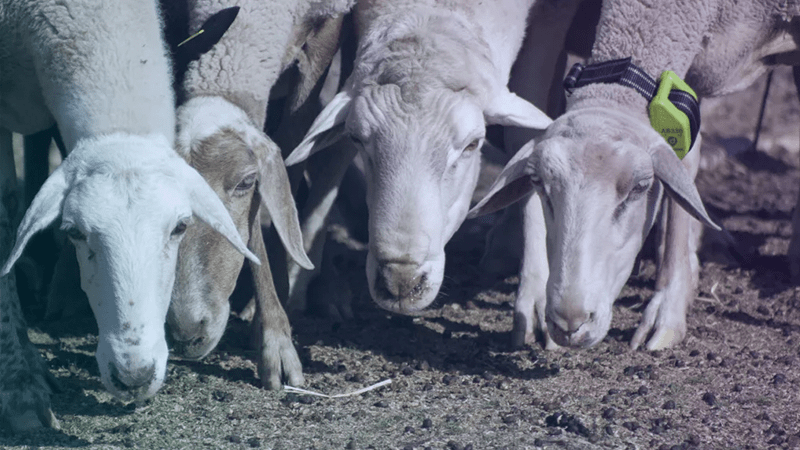 Smart livestock collars let ranchers track, monitor and manage herds